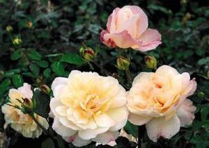 Aachen Rose