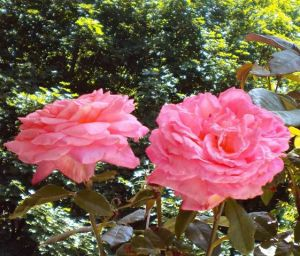 Double Pink Roses