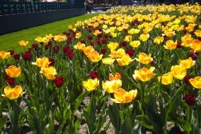 BotanicalGardens.Tulips 6.2016