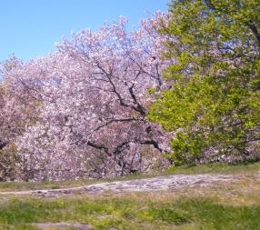 BotanicalGardens.CherryBlossoms 6.2016