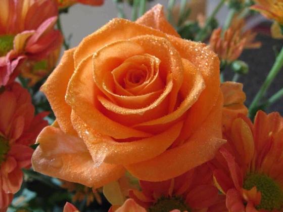 Orange Rose 11.9.14