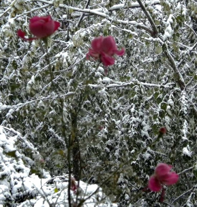 roses-in-the-snow-2-8-17