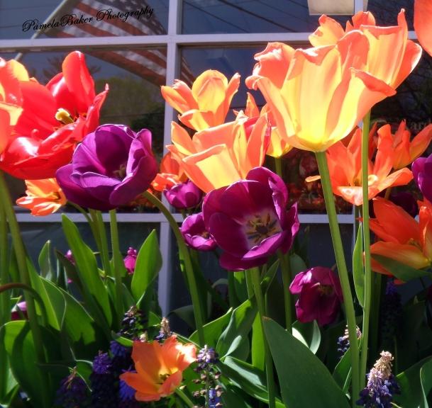 Tulips.Katonah.crop.watermarked 4.28.17