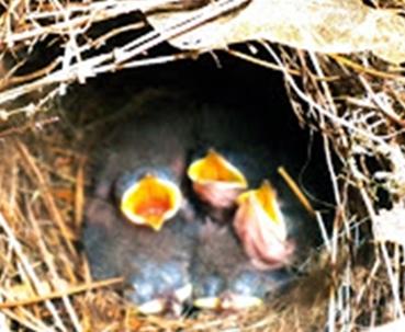 Photos.BabyBirds.eating 5.31.17