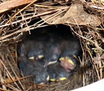 Photos.BabyBirds1 5.31.17
