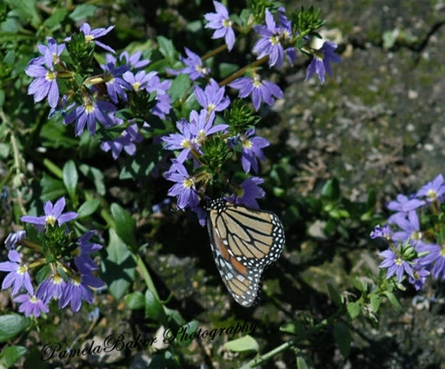 ChicagoBrookfield Zoo. Butterflys.BlueFlowers.watermarked