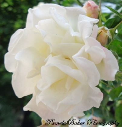 Roses.PopcornRose.White.Watermarked 6.11.17 -