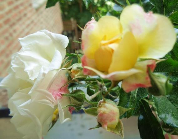 Roses.PopCornRoses.Terrace 6.11.17