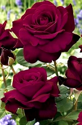 Black Cherry Rose. my terracegarden 2015