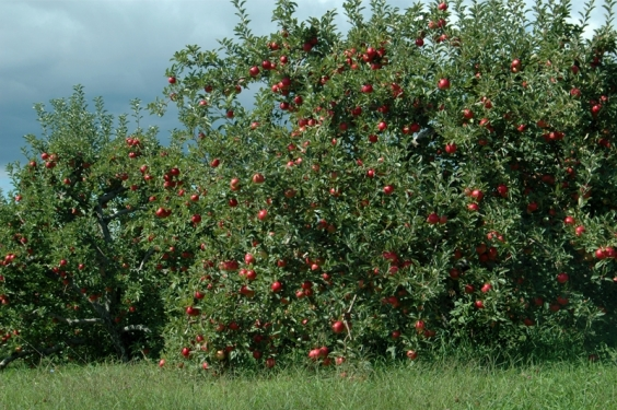 Apple Orchard. Modena