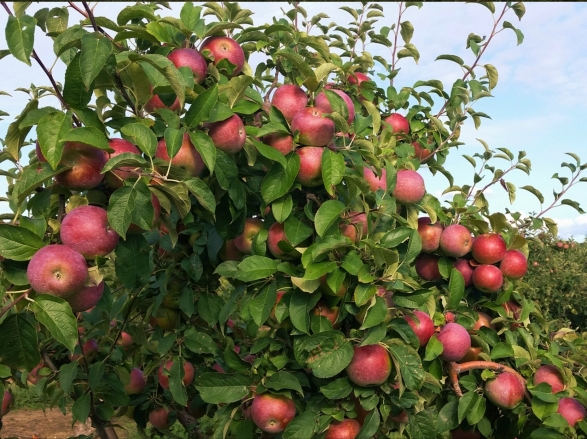 Apple Picking - Outhouse Orchards, Salem NY