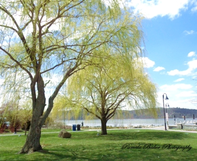 Irvington,NY.Waterfront.WeepingWillow.watermarked 4.25.18 - Copy