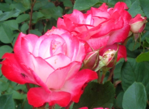 PeggyRockefellerRoseGarden. Betty Boop Floribunda Roses. RedWhiteRose.closeup 6.10.18