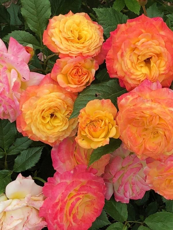 PeggyRockefellerRoseGarden.GardenDelight.YellowPink Roses.closeup 6.15.18