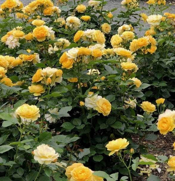 PeggyRockefellerRoseGarden.The Poets Wife. YellowHybridRoses 6.15.18