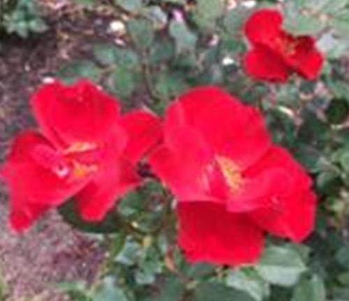 PeggyRockefellerRoselGarden.MiracleontheHudson .Red RoseBushes 6.16.18