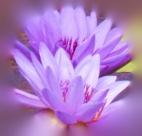 GeorgiaO'Keefe.Purple Lotus.closeup.Blur 7.24.18